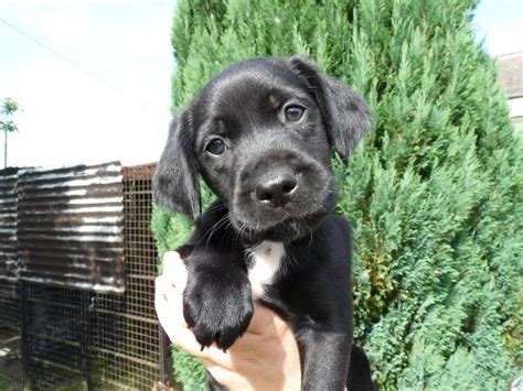springador puppies springador puppies one beautiful left bedford bedfordshire pets4homes
