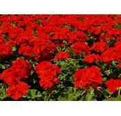 Free Red Geraniums Stock Photo  FreeImagescom