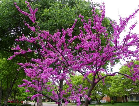 redbud tree newschannel 10 viewer weather pics redbud tree lubbock texas 4 14 2010
