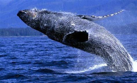 imagenes reales de ballenas ballenas ecoturismoesoterico2