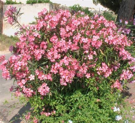 fiori di oleandro malattie oleandro piante da giardino malattie oleandro
