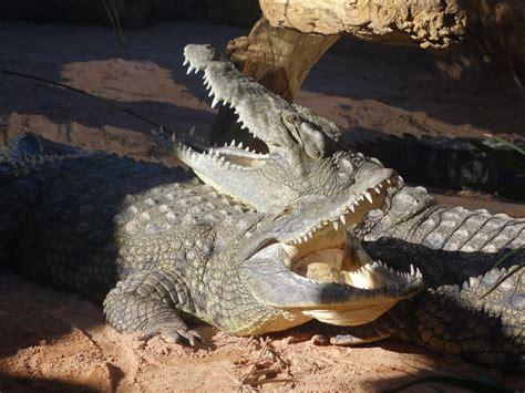 The Crocodile 2 crocodile