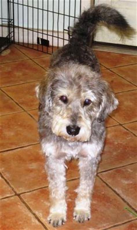 golden retriever schnauzer mix schnauzer and golden retriever mix dogs schnauzer golden