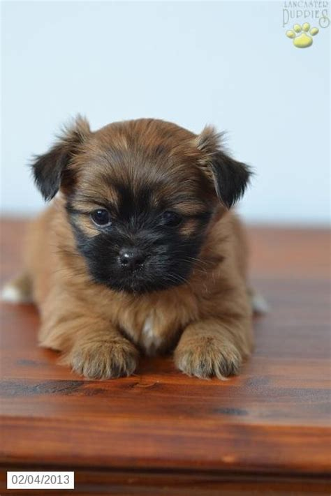 yorkie vs morkie 51 best ideas about shorkie vs morkie on carrier stroller and