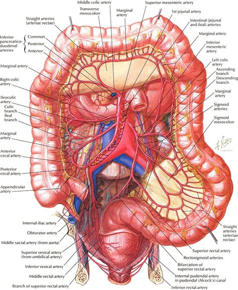 diagram of stomach and intestines arteries of large intestine diagram digestion