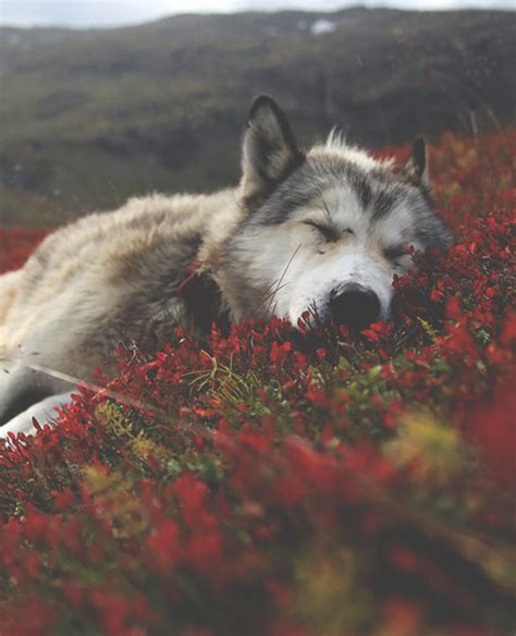 themes tumblr wolf wild child