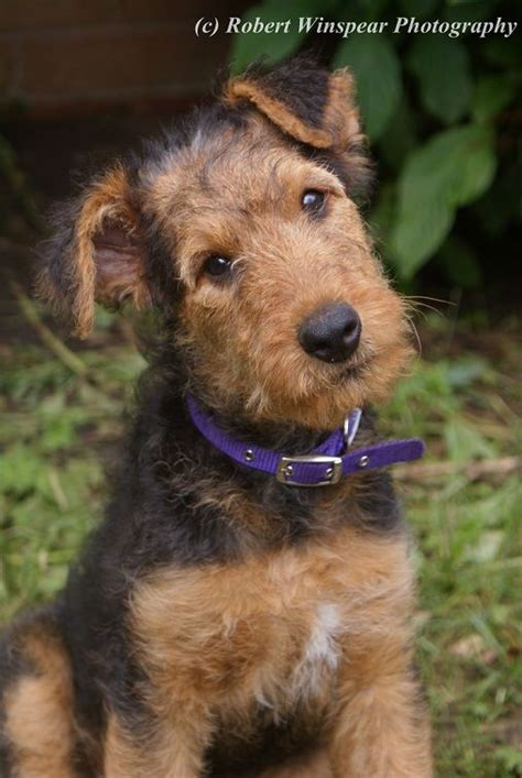 airedale puppies 11 week airedale terrier puppy and they called it puppy