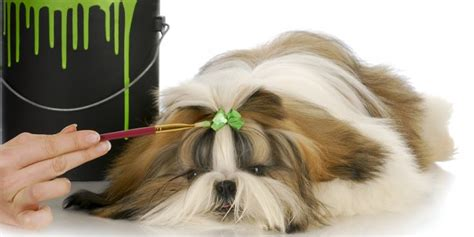 shih tzu allergy symptoms dealing with shih tzu allergies mega bored