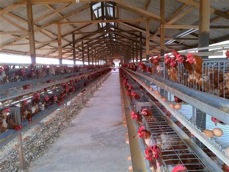 Bibit Ayam Petelur Di Medan contoh usaha budidaya ayam petelur terbaru dunia