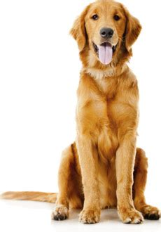 how to look after a golden retriever golden retriever rescue of mid florida inc