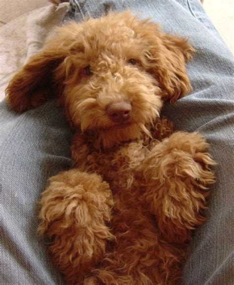 mini labradoodles massachusetts 17 best images about doodles to on