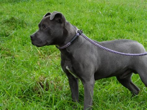 staffordshire bull terrier puppies for adoption pin by cat davies on dogs staffordshire bull terriers in rescue pi