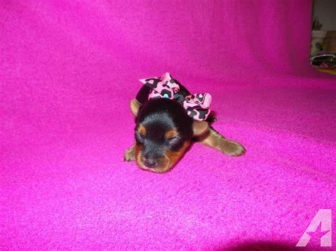 yorkie teacup puppies for sale in california teacup yorkie puppies taking deposits for sale in perris california