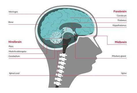 brain tumor diagram ependymoma the brain tumour charity