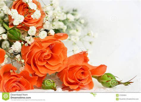 Wedding Background Orange by Orange Roses On White Background Stock Photo Image Of
