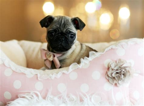 tea cup pug image gallery teacup pugs