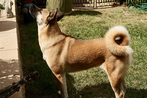 dogs with curly tails dogs with curly tails pictures to pin on pinsdaddy