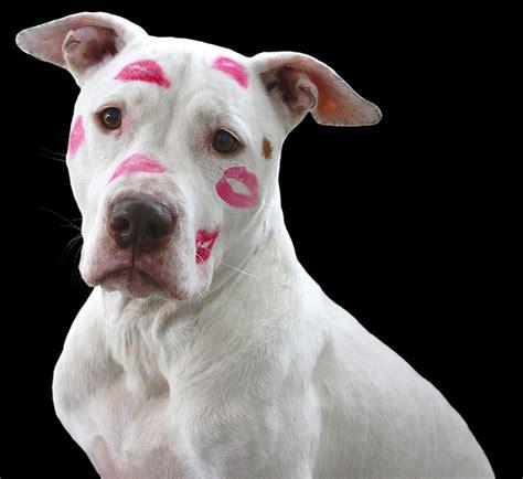 free pitbull puppies free photo pit bull pitbull free image on pixabay 1269038