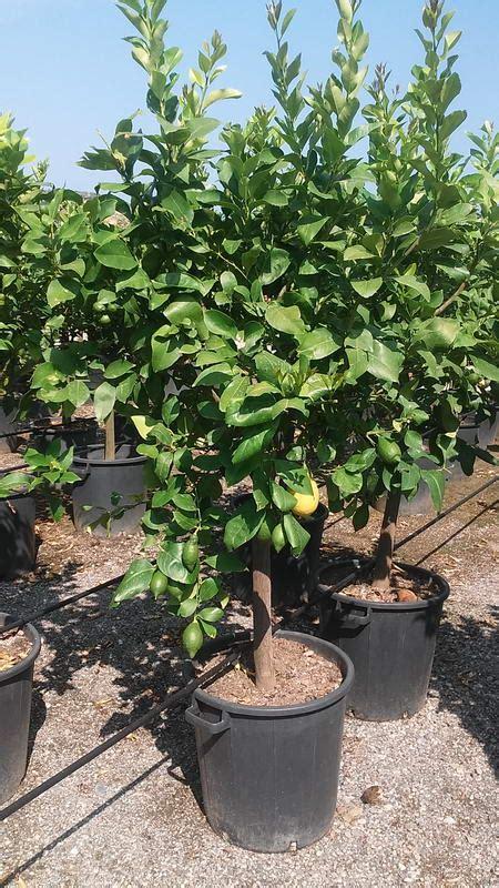 piante limoni in vaso prezzi piante limoni in vaso prezzi with piante limoni in vaso