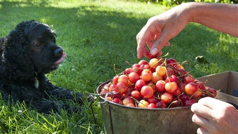 can dogs cherries can dogs eat cherries dogtime