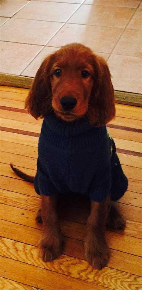 irish setter dog coat irish setter puppy in a sweater red dogs pinterest