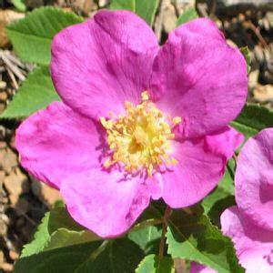 wild prairie rose iowa s state flower serious kirsten s creations iowa s state flower