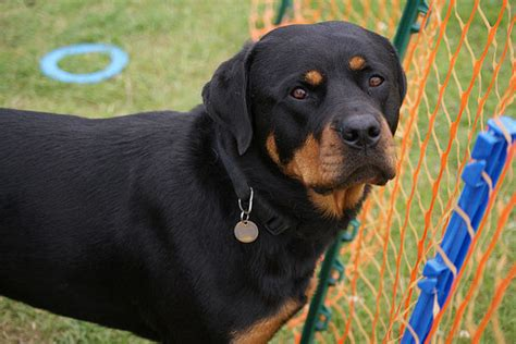rottweiler obedience classes rottweiler fantastic pet care uk
