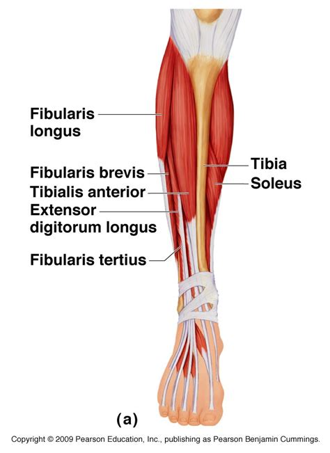 with leg l tendons of lower leg human anatomy chart