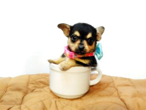 teacup puppies for sale chicago teacup chihuahua for sale in louisiana breeds picture