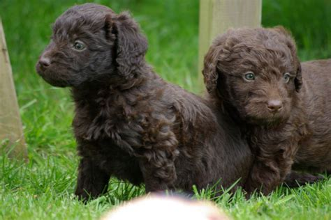 chocolate labradoodle puppies lovely chocolate miniature labradoodle puppies radstock somerset pets4homes