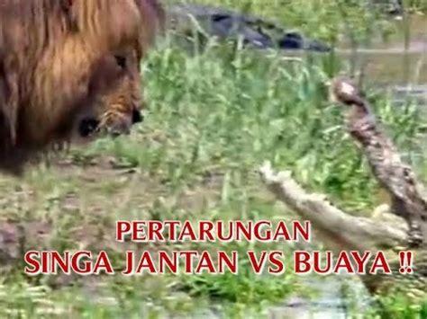 film ular vs singa video pertarungan quot singa jantan vs buaya quot hingga singa