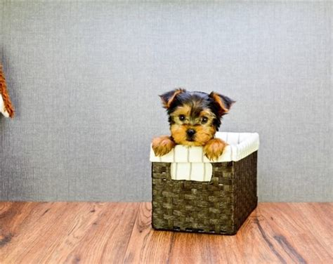 yorkies for sale 200 teacup yorkie puppies for 200 dollars or for sale united states pets 1