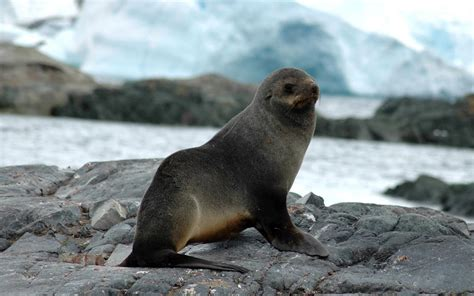 Sea Ls by Hd Seals Wallpapers And Photos Hd Animals Wallpapers