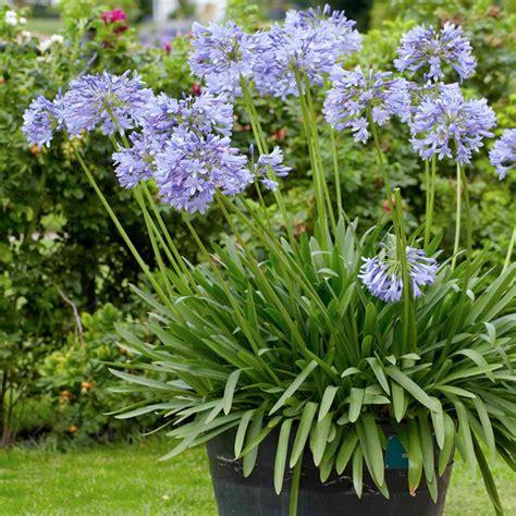 agapanthus plant brilliant blue dobies