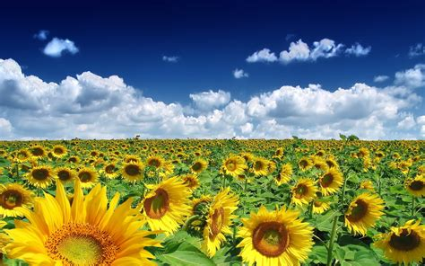 sky clouds sunflowers nature landscape wallpapers hd
