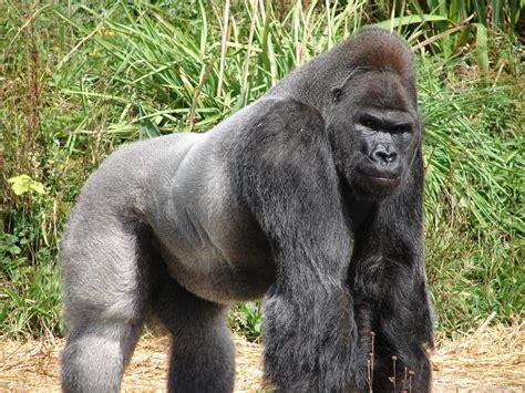 gorilla amaxing
