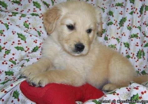 cheap golden retriever puppies for sale in ohio cheap golden retriever puppies for sale in illinois dogs