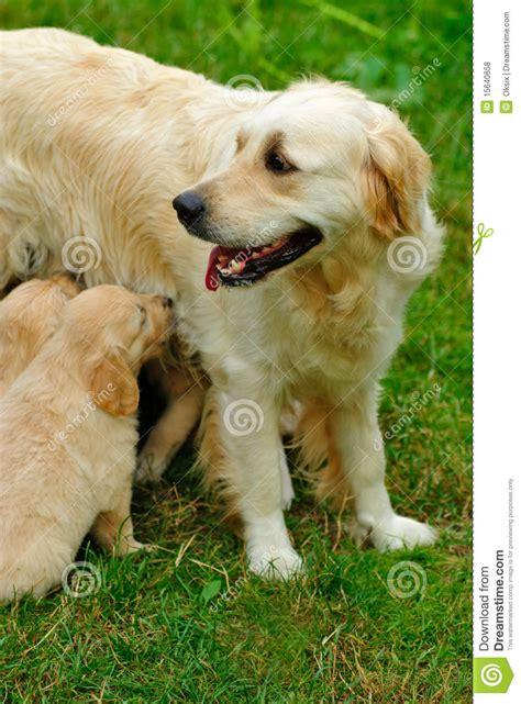 golden retriever grass golden retriever puppy in the grass royalty free stock photos image 15640658