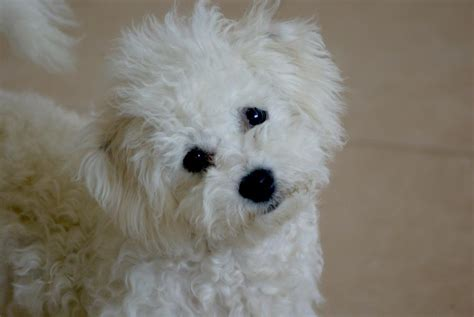 bichon frise puppies breeders bichon frise wallpapers pictures breed information breeds picture