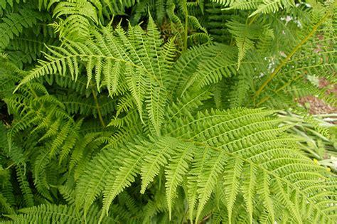 cut foliage plants fern fresh cut foliage catalog flora export s g