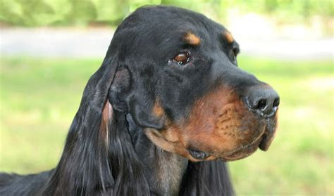 setter dog traits gordon setter breed information