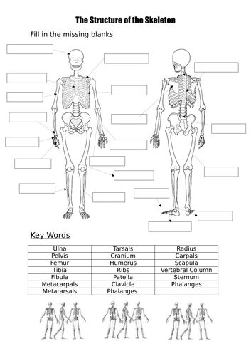 unlabeled muscular system front   auto electrical wiring diagram