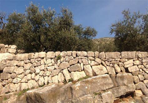 variet di olive da tavola 500 chilometri di terrazzamenti quot la carboncella quot variet 224