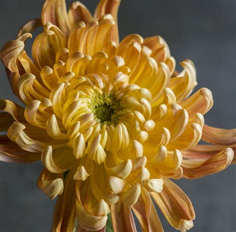 Vase For Plants Stunning Fall Chrysanthemums Sunset