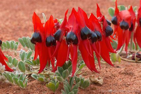Facts About Daisy Flowers australian flora steve parish nature connect