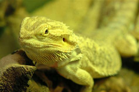 dragon  yellow lizard hd animals  birds