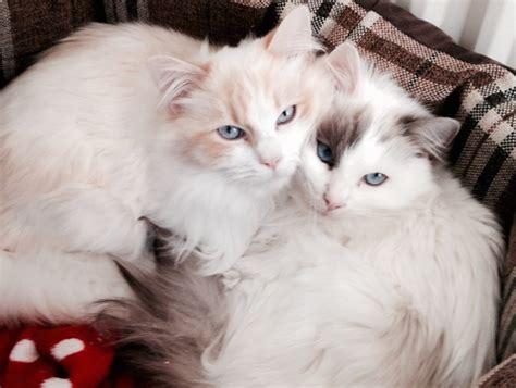 ragdoll mix 2 gorgeous ragdoll mix brothers faversham kent