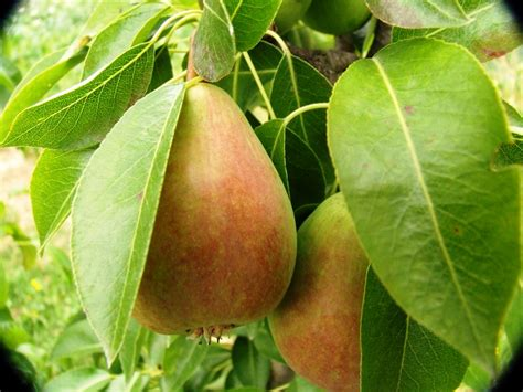 what of fruit grows on trees fruit trees preservation tree services