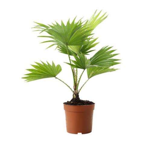 ikea plants livistona rotundifolia potted plant ikea
