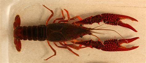 Where Were The Marble Crayfish Descoverd - fishing report salmon up and personal near the lake